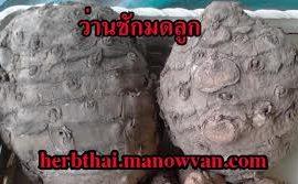 ว่าน ชักมดลูกไทย Thai Comosa