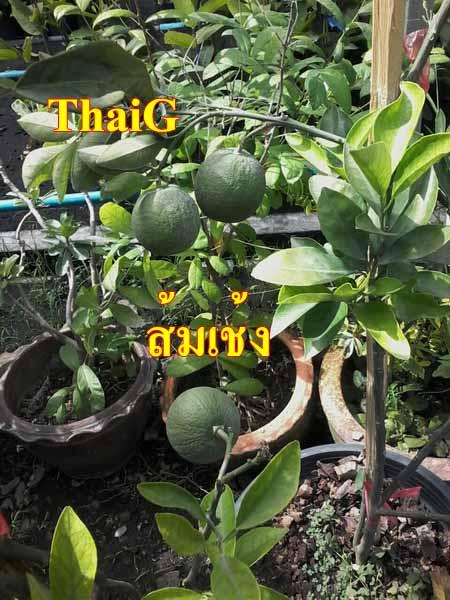 ส้มรสชาดดี ส้มเช้งเปลือกหนา หวานอมเปรี้ยว