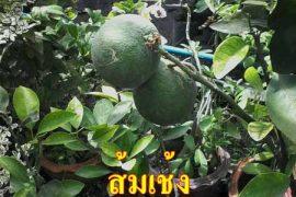 ต้นส้มเช้ง ผลอร่อยหาทานยาก