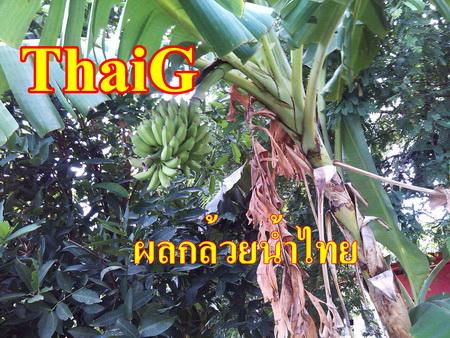 กล้วย น้ำไทย