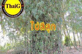ต้นกอไผ่ สีสุก ไม้ไผ่ป่า ไผ่หนาม