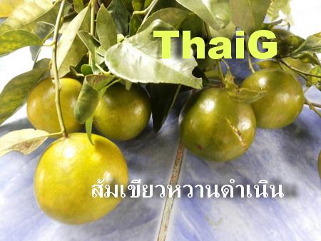 การปลูกส้ม ส้มเขียวหวานดำเนิน