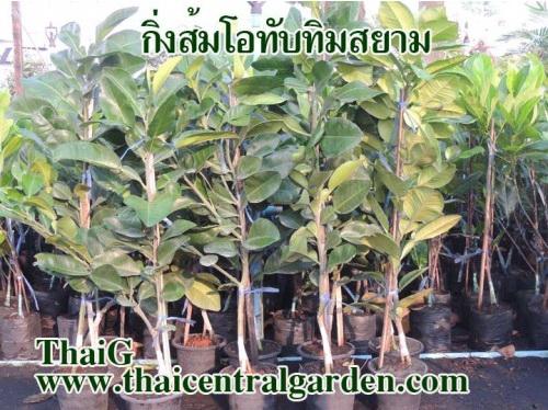 ต้นพันธุ์ส้มโอ ทับทิมสยาม