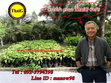 สวนป่า ไม้ป่า ThaiG