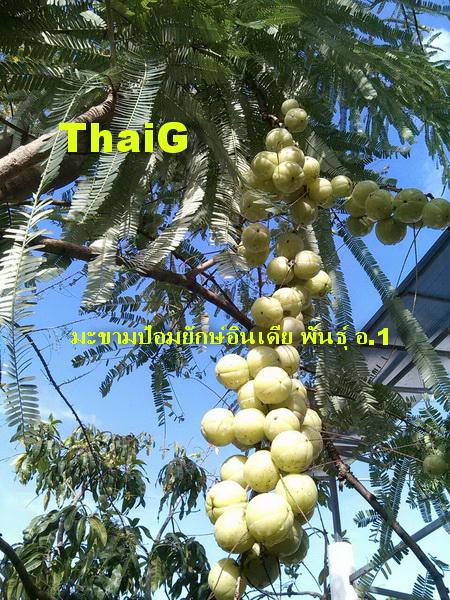 มะขามป้อมอินดีย ผลใหญ่เป้ง