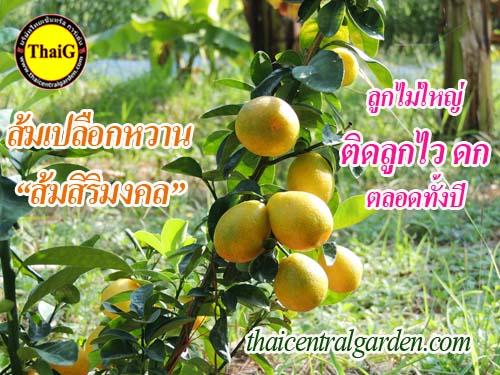ส้มเปลือกหวาน ส้มสิริมงคล