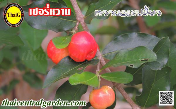 ต้นเชอรี่หวาน ผลเชอรี่หวาน