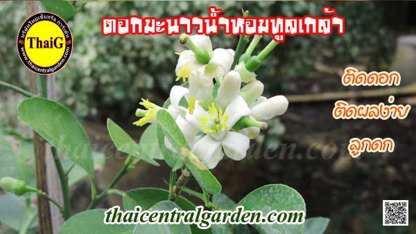 ดอกมะนาวน้ำหอมทูลเกล้า