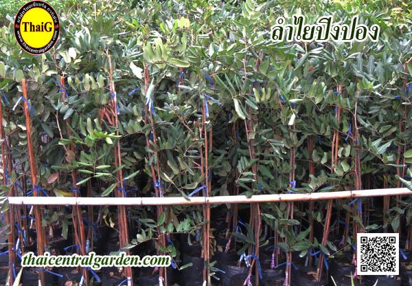 ต้นลำไยปิงปอง